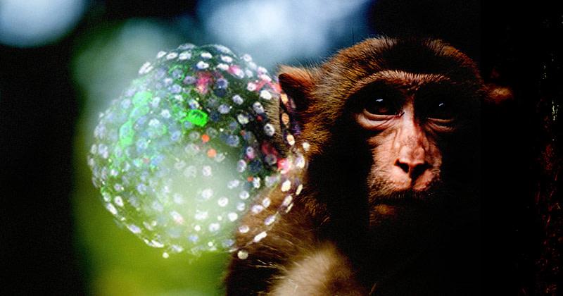 «χιμαιρικά έμβρυα» από άνθρωπο και μαϊμού!